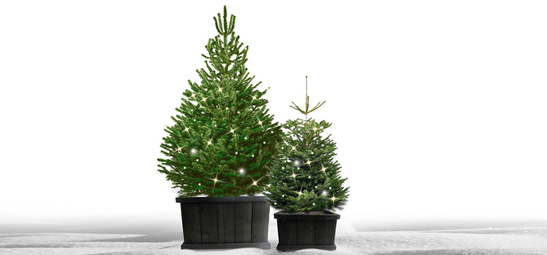 Nordmann kerstboom in kist met verlichting voor buiten bestellen in Hoofddorp